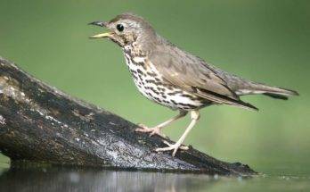 Thrush Bird Symbolism And Thrush Meaning On Whats-your-sign
