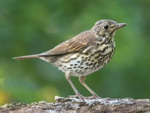 Song Thrush In Winter Stock Photos