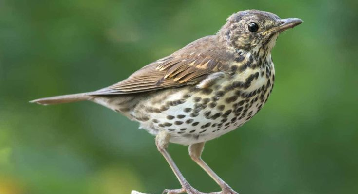 The Songthrush
