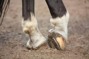 Thrush In Horses - Symptoms