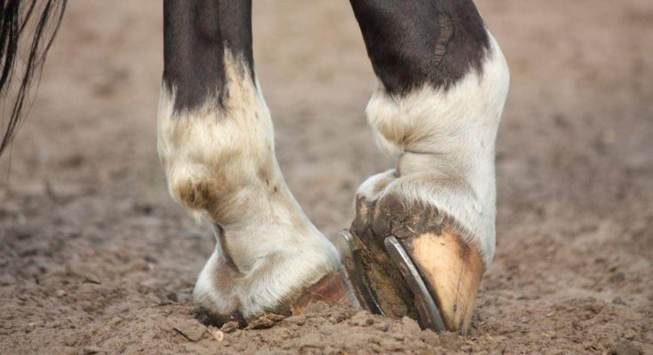 How To Deal With Thrush In Horses
